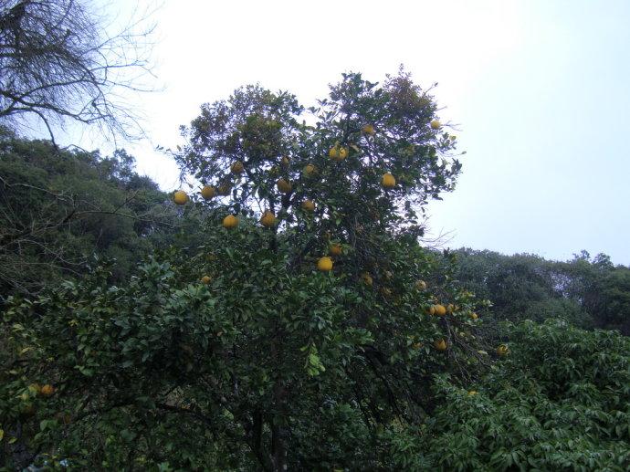 敬爱堂后的柚子树上结满了果实